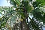 The Coconut tree; Jamaica Mission Trip 2013