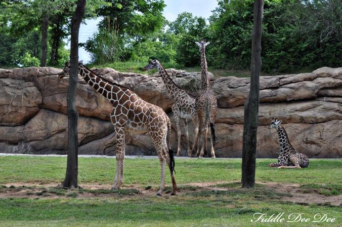 nashville_giraffes