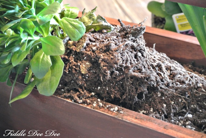 Breaking up the roots just a little to stimulate growth.
