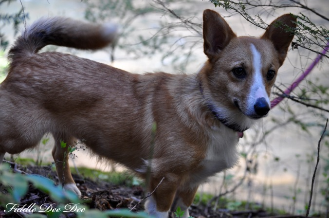 Our sweet little Corgi enjoyed her outdoor adventure ... except for the mud.