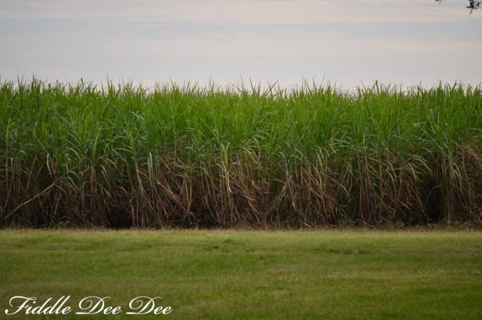 saint-josephs-sugar-cane-ohfiddledeedee-com