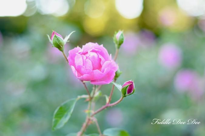 Garden-Roses | Fiddle Dee Dee