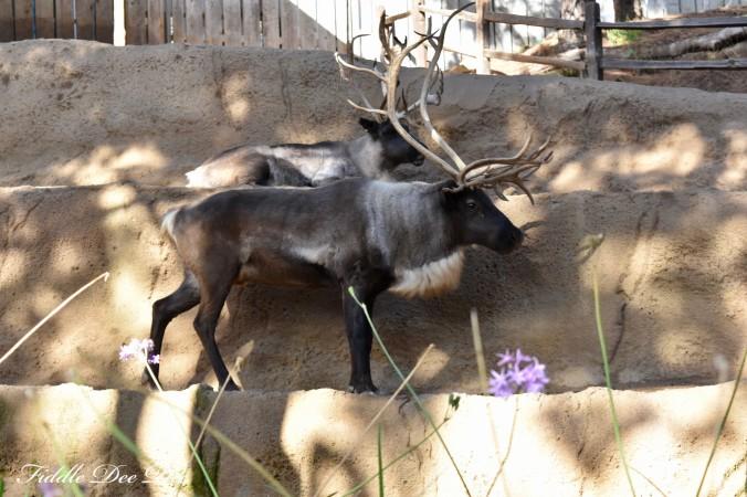 San-Diego-Zoo-Reindeer | ohfiddledeedee.com
