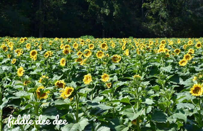 Fausett Farms Autumn Sunflowers / Fiddle Dee Dee